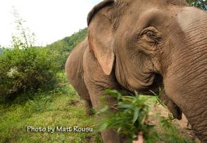 Jokia. A blind elephant
